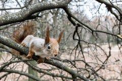 Rode eekhoornzitting op de tak van naakte de herfstboom searchi royalty-vrije stock foto