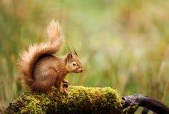 Rode eekhoornzitting op een bemost logboek royalty-vrije stock fotografie