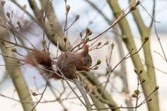 Rode eekhoornzitting op een tak en het eten van de knoppen van het de lenteblad stock foto's