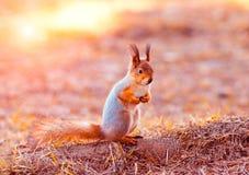 Rode eekhoornzitting op zijn achterste benen Royalty-vrije Stock Afbeelding