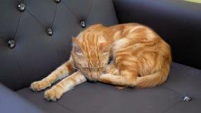 Rode Egyptische Cat Lying en Slaap op een Dure Leunstoel stock videobeelden