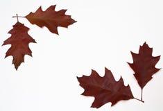 Rode eiken bladeren Royalty-vrije Stock Foto's