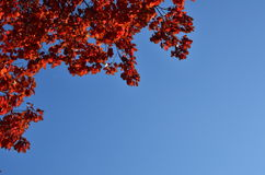 Rode eiken bladeren Royalty-vrije Stock Fotografie