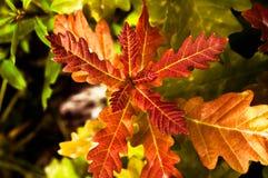 Rode eiken bladeren op een tegenover elkaar stellende achtergrond Royalty-vrije Stock Afbeelding