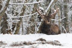Rode elaphus van Cervus van het Hertenmannetje in de Wintersneeuw Volwassen edele herten met grote die hoornen met sneeuw worden  Stock Foto