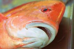 Rode Emeperor-Vissen Royalty-vrije Stock Afbeeldingen