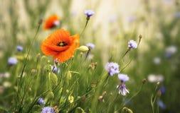 Rode en blauwe bloemen Royalty-vrije Stock Foto