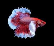 Rode en blauwe die siamese het vechten vissen, bettavissen op zwarte worden geïsoleerd stock foto