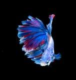 Rode en blauwe die siamese het vechten vissen, bettavissen op zwarte worden geïsoleerd royalty-vrije stock fotografie