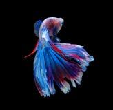 Rode en blauwe die siamese het vechten vissen, bettavissen op zwarte worden geïsoleerd Stock Fotografie