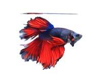 Rode en blauwe halve maanvlinder siamese het vechten vissen, betta F Stock Afbeeldingen