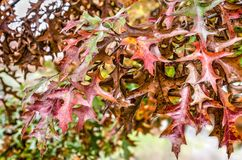 Rode en bruine bladeren van een eiken boom Royalty-vrije Stock Fotografie