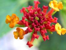 Rode en geeloranje bloemen op een groene achtergrond Royalty-vrije Stock Foto