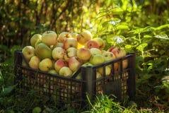 Rode en gele appelen in een plastic doos Royalty-vrije Stock Afbeeldingen