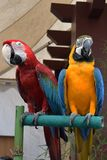 Rode en gele blauwe papegaai die op hout zich verenigen Stock Afbeelding