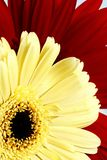 Rode en gele bloem Royalty-vrije Stock Foto's