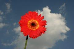 Rode en gele bloem Stock Foto's