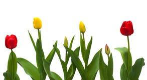 Rode en gele bloemen van tulpen met knoppen Royalty-vrije Stock Foto's