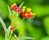 Rode en gele bloeminstallatie Stock Fotografie