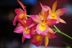 Rode en gele bloemorchidee Stock Afbeelding