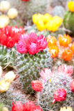 Rode en Gele cactusbloemen Royalty-vrije Stock Foto