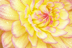 Rode en Gele Dahlia met Regendruppels stock foto's