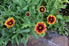 Rode en gele Gaillardia-bloemen royalty-vrije stock afbeeldingen