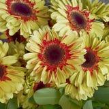 Rode en gele gerbermadeliefjes, bloemenachtergrond Royalty-vrije Stock Foto