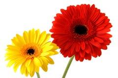 Rode en gele gerbers Royalty-vrije Stock Afbeeldingen