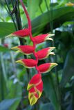 Rode en gele heliconiabloem, Singapore Stock Afbeeldingen