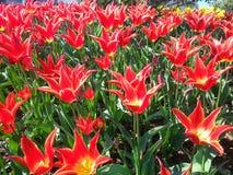 Rode en Gele Lelies die in Roozengaarde bloeien Stock Foto