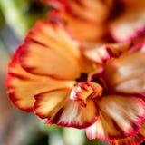 Rode en gele macrobloem stock fotografie
