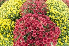 Rode en gele mums, bloemen Stock Fotografie