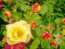 Rode en gele rozen 6 royalty-vrije stock fotografie