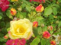 Rode en gele rozen 4 stock fotografie