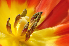 Rode en Gele Tulp Royalty-vrije Stock Fotografie
