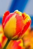 Rode en gele tulp stock afbeeldingen