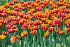 Rode en gele tulp Royalty-vrije Stock Afbeeldingen