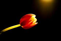 Rode en gele tulp Stock Fotografie