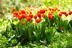 Rode en gele tulpen Stock Afbeelding