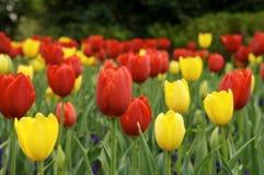Rode en gele tulpen Stock Afbeeldingen
