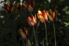 Rode en gele tulpen Stock Fotografie