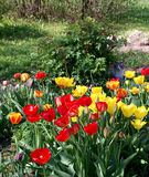 Rode en gele Tulpen in de tuin Stock Foto's