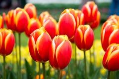 Rode en gele Tulpen in de tuin Stock Afbeelding