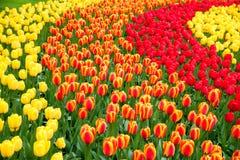 Rode en gele Tulpen in de tuin Royalty-vrije Stock Afbeelding