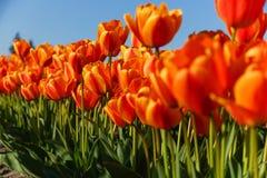 Rode en gele tulpen die in de lente openen Royalty-vrije Stock Afbeeldingen