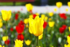 Rode en gele tulpen op de bloemtuin Royalty-vrije Stock Afbeelding