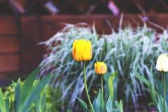 Rode en gele tulpen op de bloemtuin stock fotografie