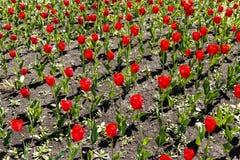 Rode en gele tulpen op de bloemtuin Royalty-vrije Stock Afbeeldingen