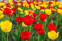 Rode en gele tulpen in tuin stock afbeelding